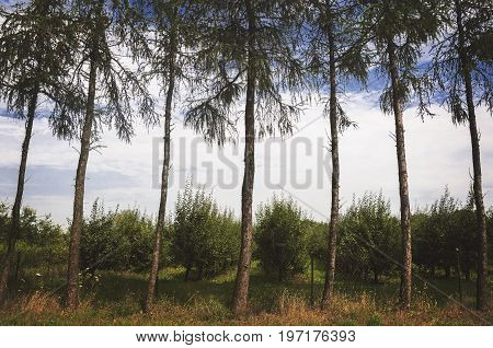 hedge of trees with orchard in the background