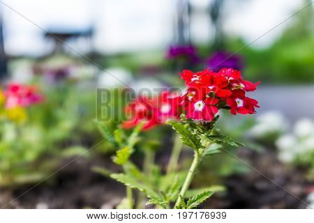 Red Colorful Verbena Flowers In Garden During Summer In Ile D'orleans, Quebec, Canada