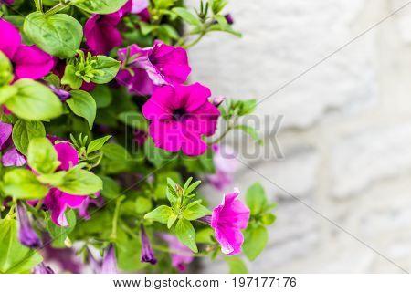 Purple Pink Magenta Calibrachoa Or Petunia Flowers Hanging In Basket Macro Closeup