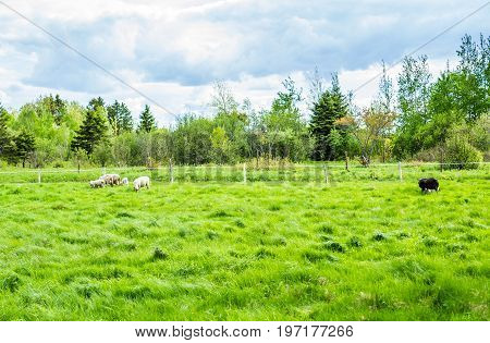 Black Sheep Running In Pasture With White Sheep During Summer