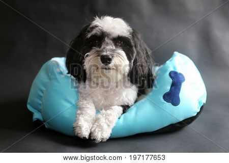 Havanese Dog. Black and White Havanese dog sits in a blue dog bed on a black background.