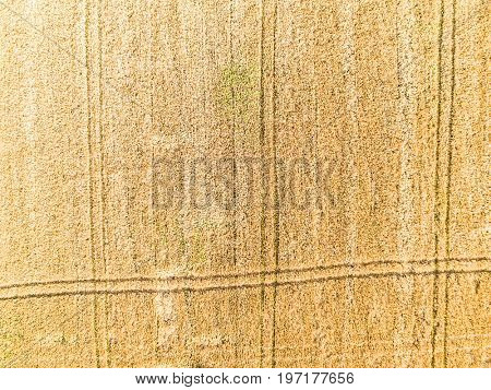 Wheat field from high, aerial view