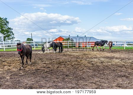 Horses In Paddock With White Fence In Farm In Brown Soil Landscape