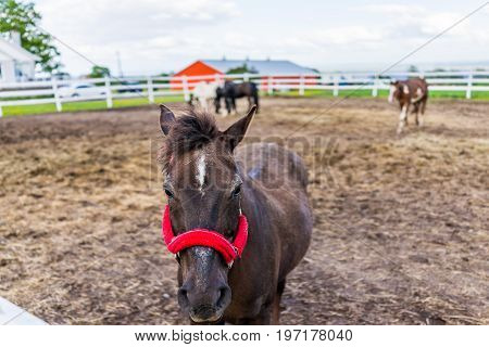 Closeup Of Horse With Red Harness In Paddock With White Fence In Farm In Brown Soil Landscape