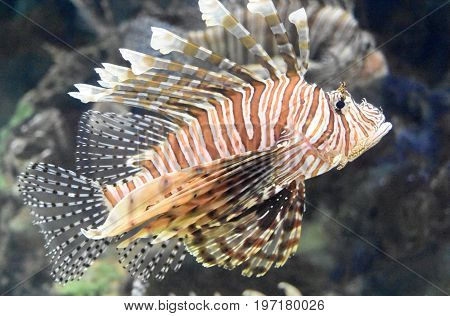 Great striped butterfly cod in the ocean.