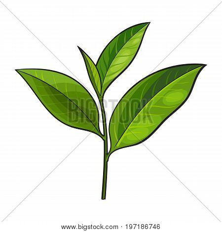 Hand drawn fresh green tea leaf, bud, twig, sketch style vector illustration isolated on white background. Realistic hand drawing of fresh young green tea leaf