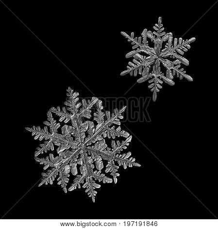 Two snowflakes isolated on black background. Macro photo of real snow crystals: large stellar dendrites with complex elegant shape, fine symmetry and long, ornate arms with many side branches.