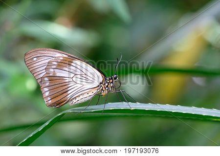 Female African Swallowtail, Mocker Swallowtail or Flying Handkerchief, papilio dardanus, Mainau Island, Germany