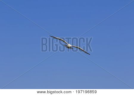 Seagull Hover In Clear Blue Sky