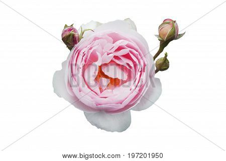 Hybrid white and pink roses, with three buds, on white isolated background