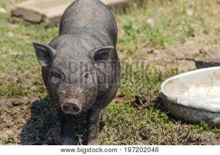 Little Black Pig Close-up, Farm. Vietnamese Pig, Portrait.
