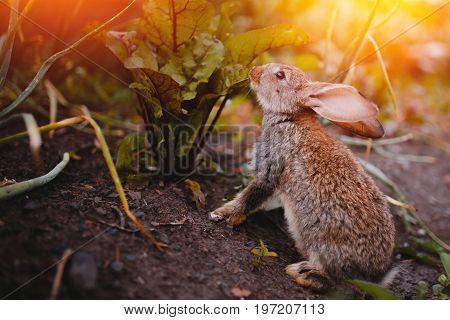 Little rabbit on the grass farm of pets. Sunset. concept is a garden pest, rodent.