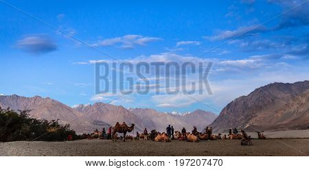 Nubra Valley, Ladakh, Kashmir, Inida, July 13, 2016: Camel herders and tourists in Nubra Valley, Ladakh district of Kashmir, India