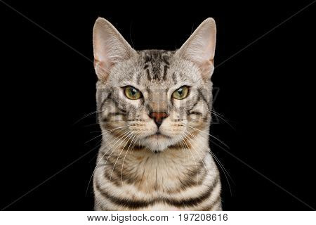Portrait of Angry Bengal Cat, snow Fur with rosette, frowning eyes on isolated on Black Background, Front view