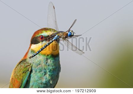 Peradise bird with blue dragonfly in the beak, wildlife