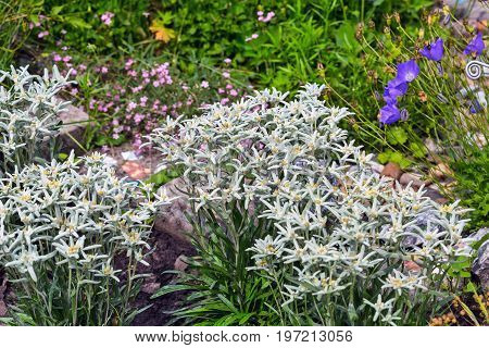 Edelweiss Alpine or Leontopodium ( lat. Leontopodium ). Blooming Bush of Edelweiss in the flower bed of a suburban area