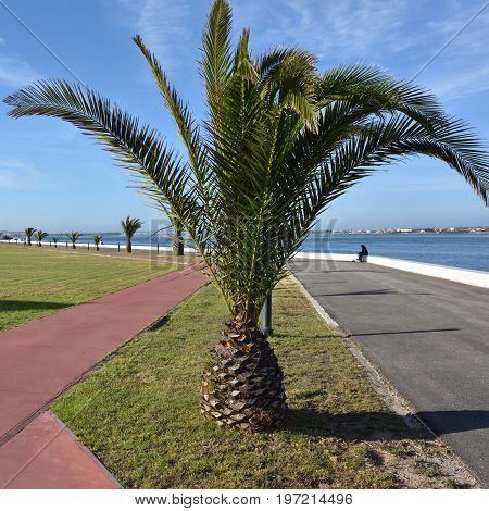 Palm Tree In Costa Nova. Portugal