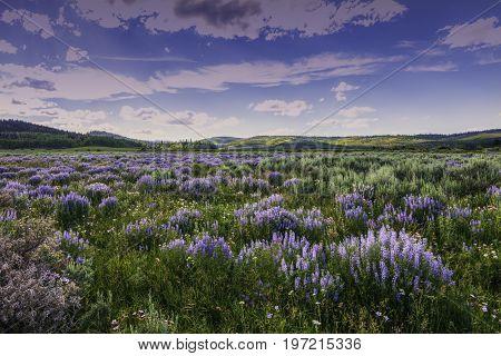 Summer lavender wildflowers in sagebrush below Wyoming Range Subblette Coounty Wyoming