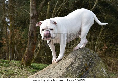 white bulldog on the rocks posing with a funny face