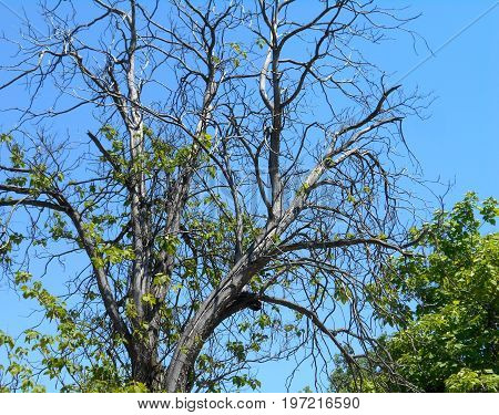 Dead branches in the treetop of an old mulberry tree