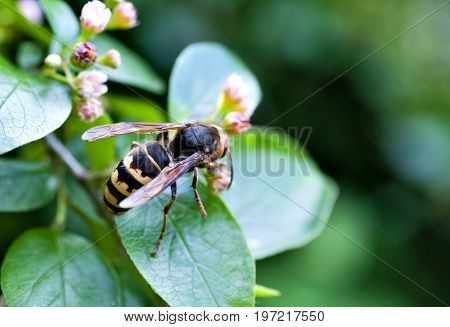 Hornet Gathers Nectar From A Flowering Shrub