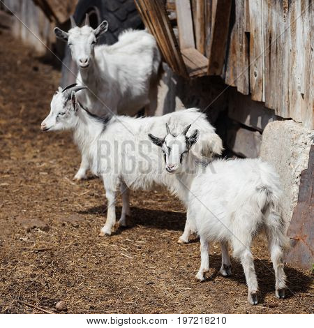 White domestic goats on a farm, livestock