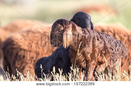 A sheep in the pasture . A photo