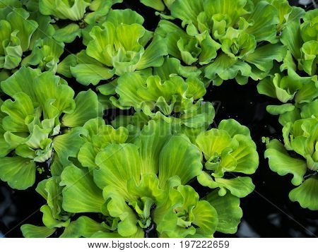 close up to Green duckweeds water plant in pond