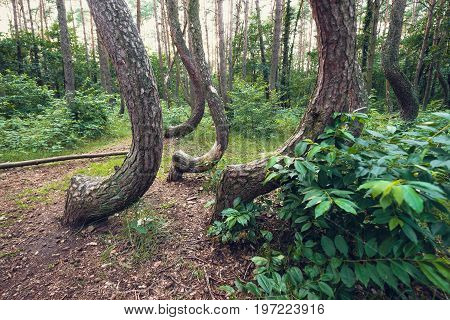 Famous pine trees forest called Crooked Forest in Nowe Czarnowo village of Poland