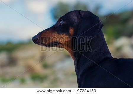 Closeup portrait of a dog (puppy) breed dachshund black and tan against a blue sky