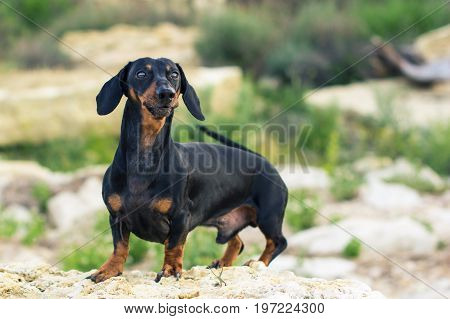 portrait of a dog (puppy) breed dachshund black and tan stand on a stone against a background of green hills