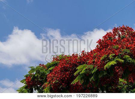 Blooming Flamboyant tree or Royal Poinciana,Delonix regia,Flame tree, blue sky at background, Tenerife