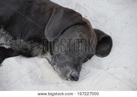 Sleepy black dog lies in the white sand and cools during the hot summer day