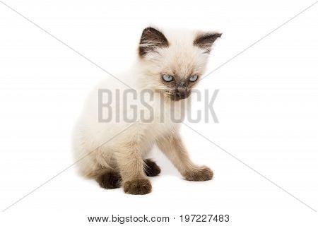 Kitten on white background kitten plays summer Siamese cat