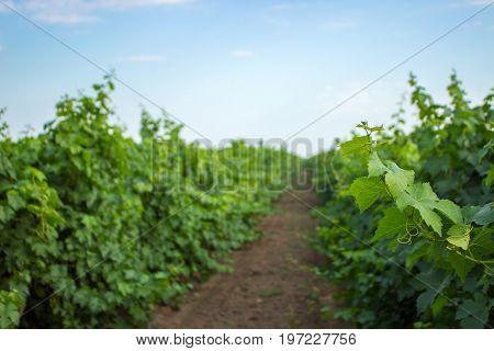 Green grape twig and leaves on vine frame background. Young grape leaves and curls on Vine in the vineyard summer background.