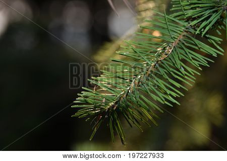 Branch of Douglas-fir (Pseudotsuga) with needles, close-up shot