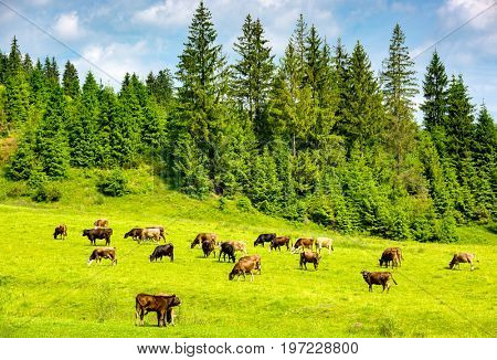 herd of cows on a green pasture in mountains