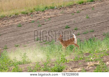 Whitetail Fawn feeding  in a field of alfalfa