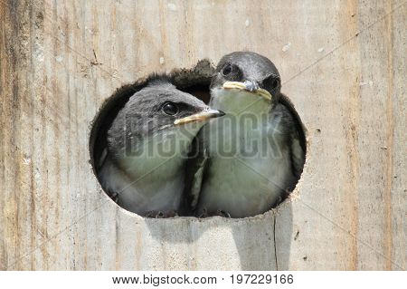 Pair of hungry Baby Tree Swallows (tachycineta bicolor) looking out of a bird house