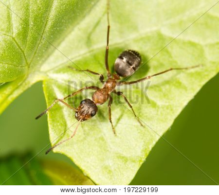 Ant on a green leaf. close . A photo