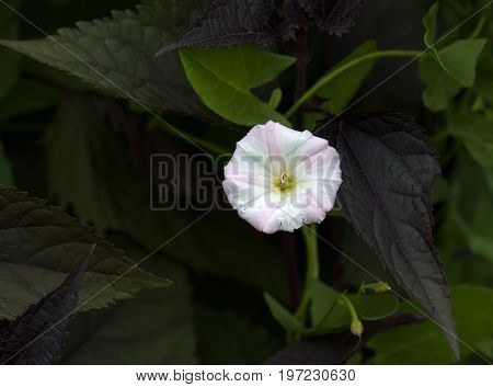 Field Bindweed flower with raindrops and foliage