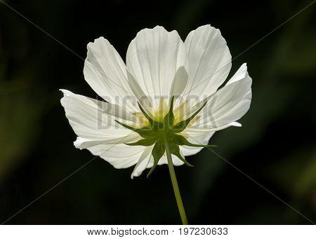 Underside of white Cosmos flower backlit by sun.