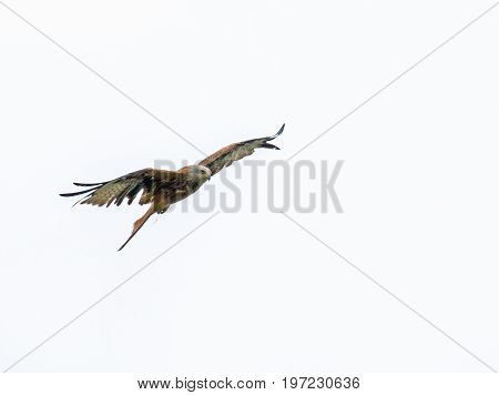 Red Kite, reintroduced species, against cloudy sky.