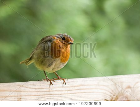 European Robin on fence head tilted to one side