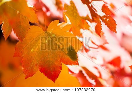 Back Lit Fall Leaves