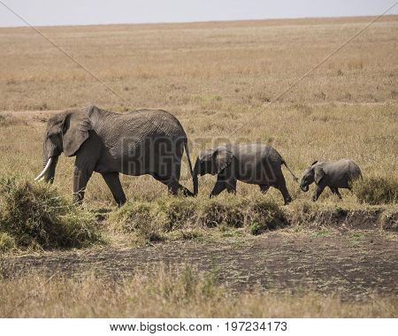 Three generations of elephants holding tails on the African plains