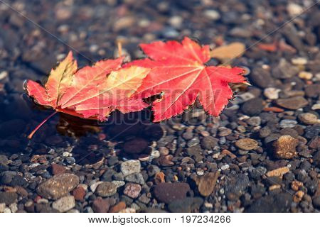 Two Floating Leaves