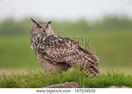 European eagle-owl (Bubo bubo) standing on grassy mound. Bird of prey nature image with copy space.