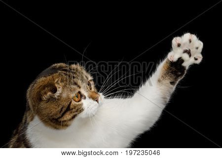 Close-up Playful Scottish Fold Cat White with tabby fur, touching paw isolated on Black Background