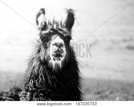 Close-up portrait of brown llama, Andes, South America. Black and white image.
